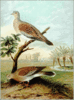 Turtle Dove clip art