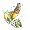 White Crowned Sparrow 5 clip art
