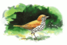 Wood Thrush 5 clip art