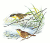 Yellowthroat 5 clip art