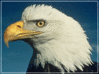 bald eagle profile clip art