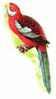 broad tailed parakeet clip art