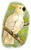 lesser lemon crested cockatoo clip art