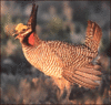 prairie chicken clip art
