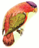 purple capped Lory clip art