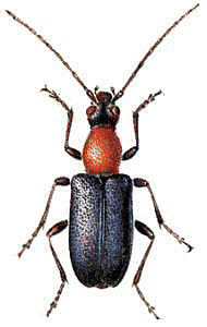 Acmaeops