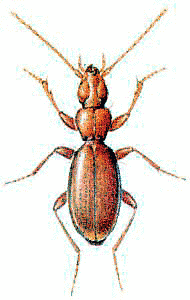 Anophthalmus