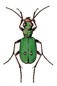 Field Tiger Beetle