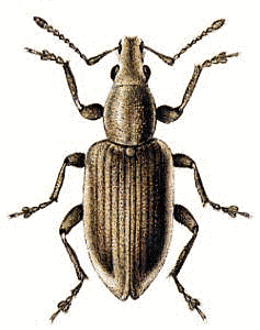 Tanymecus