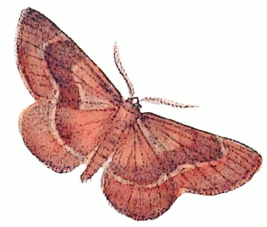 barred red Ellopia fasciaria