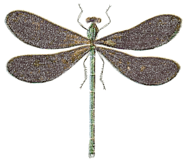 black wing dragonfly