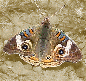 common buckeye. butterfly