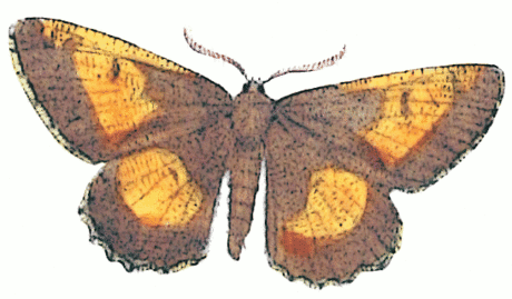 orange moth Angorona prunaria