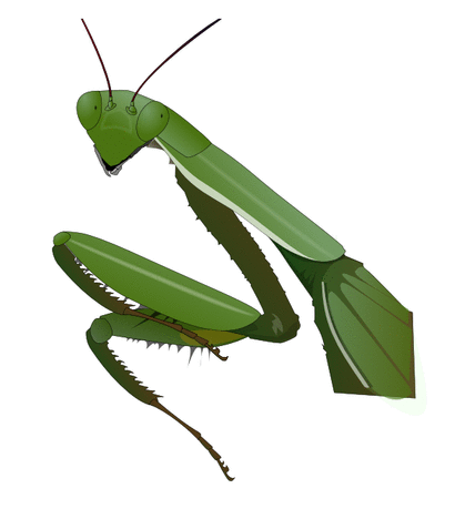 preying mantis 2