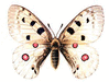 Apollo Butterfly clip art