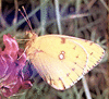 Bergers Clouded Yellow clip art