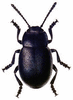 Bloody-Nosed Beetle clip art