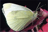 Cabbage Butterfly clip art