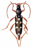 Isotomus clip art