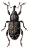 Large Pine Weevil clip art