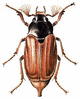 May Beetle clip art