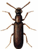 Powder-post Beetle clip art