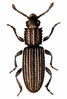 Saw-toothed Grain Beetle clip art