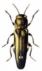 Two-spot Wood-borer clip art