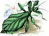 Walking Leaf Insect clip art