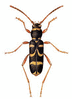 Wasp Beetle clip art