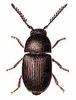 Xyletinus clip art