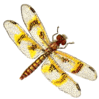 amber wing dragonfly female clip art