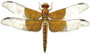 basal dragonfly clip art
