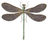 black wing dragonfly clip art