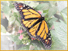 butterfly image clip art