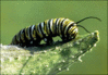 catterpillar Monarch clip art