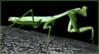preying mantis 3 clip art