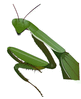 preying mantis close clip art