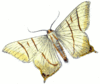 swallow tailed moth Ouraptern sambucaria clip art