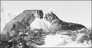 two cougars on mountain