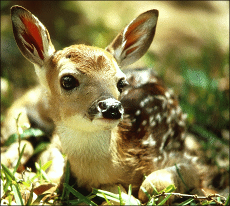 deer white tailed fawn 2