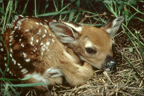 deer white tailed fawn