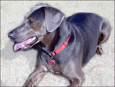 Blue Lacy Game Dog