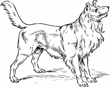 collie BW sketch