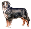 Bernese Mountain Dog clip art