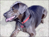 Blue Lacy Game Dog clip art
