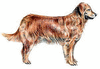 Golden Retriever clip art
