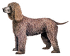Irish Water Spaniel clip art