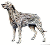 Irish Wolfhound clip art