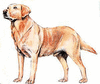Labrador Retriever clip art